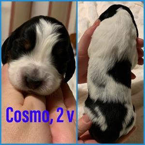 Cosmo 2v