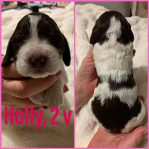 Holly 2v