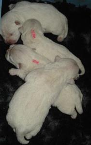 C:\Users\Cina\AppData\Pictures\1. Bilder Tweed\Bilder Valpar\Debbir-Trevor\4 dagar, en hög med nya bebisar