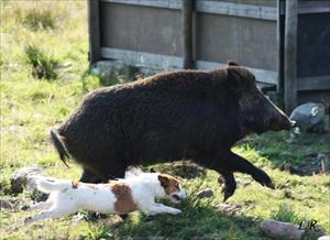 Phoebe jagar gris
