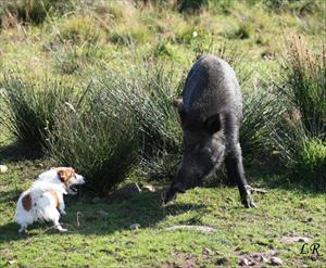 Phoebe möter vildsvin