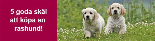 block-5-goda-skal_506px_golden-retriever-valpar