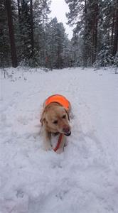 Ida tuggar pinne i snön