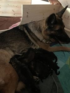 Nu är alla 8 valpar födda - bra jobbat, Nixa