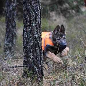 Rindrosens Blixtra springer lös i skogen