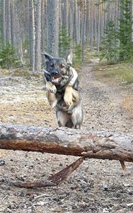 Rindrosens Actra 2 år som älskar att springa i skogen
