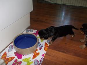 Buddy närmar sig försiktigt vattenskålen