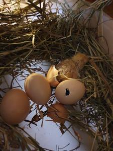 3/3 kikade den först av Pärlas kycklingar fram