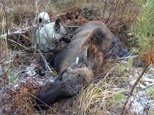 Kalv fälld för Alva 27/10-2012